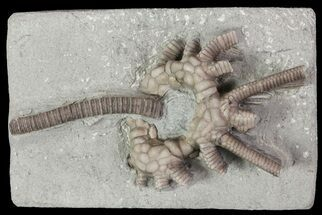 "2.8"" Agaricocrinus Crinoid Fossil - Crawfordsville, Indiana For Sale, #68474"