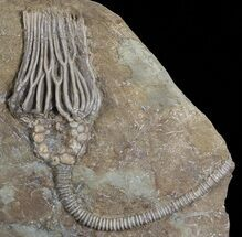 Beautiful, 3D Actinocrinites Crinoid - Crawfordsville, Indiana For Sale, #68561