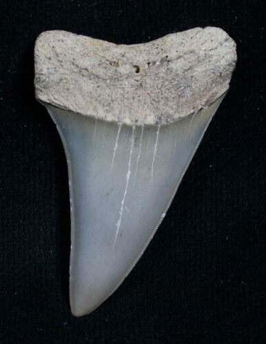 Fossil Giant Mako Shark Tooth - Virginia