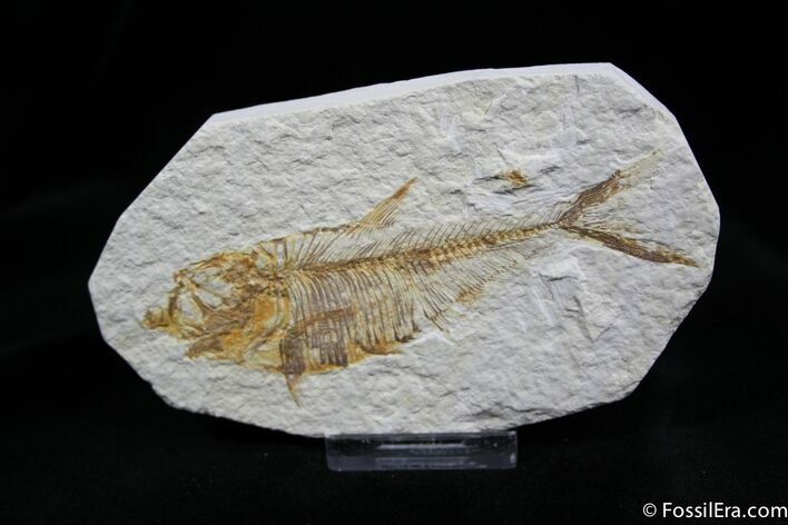 4.3 Inch Diplomystus Fossil Fish From Wyoming