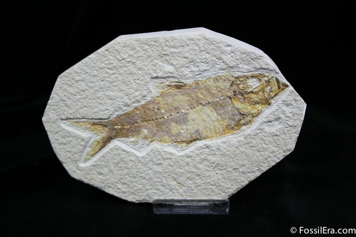 4.3 Inch Knightia Fossil Fish