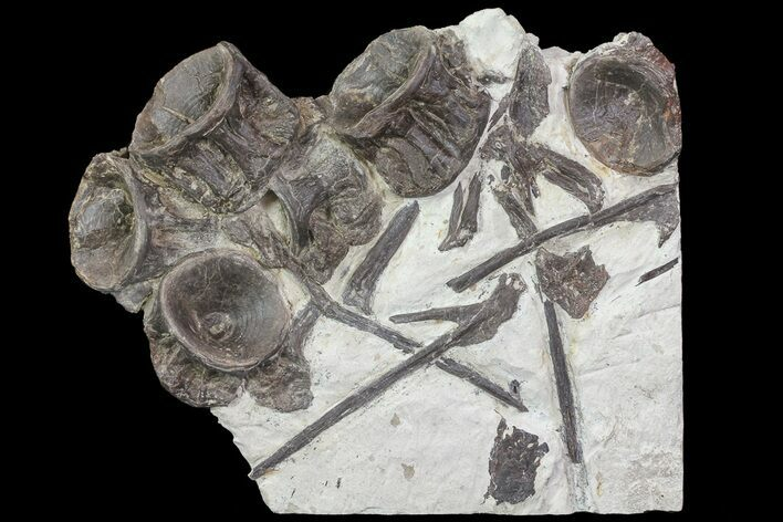 Xiphactinus (Cretaceous Monster Fish) Vertebra & Ribs - Kansas