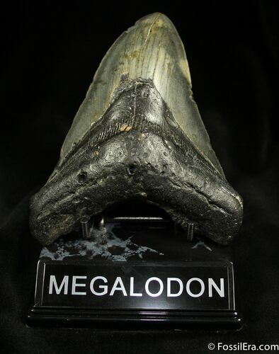 5.31 Megalodon Tooth From NC