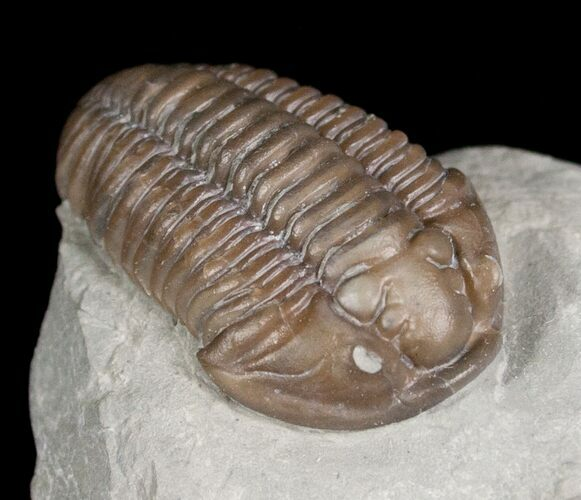 "Super Inflated 1.15"" Flexicalymene Trilobite"