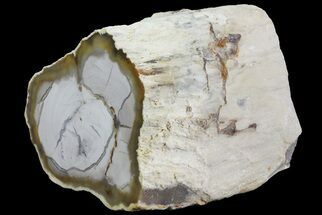 "Buy 2.9"" Petrified Wood Limb (Bald Cyprus) - Saddle Mountain, WA - #69463"