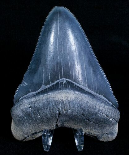 "Beautiful 3.15"" Bone Valley Megalodon Tooth"