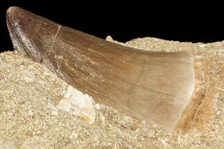 "1.5"" Mosasaur (Prognathodon) Tooth In Rock For Sale, #70454"