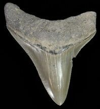 "Serrated, 2.76"" Juvenile Megalodon Tooth  For Sale, #70571"