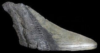 "Buy 5.02"" Fossil Megalodon Tooth ""Paper Weight"" - #70543"