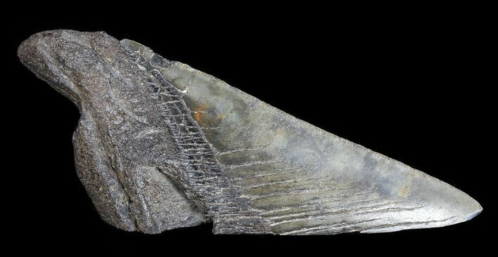 "5.11"" Fossil Megalodon Tooth ""Paper Weight"""