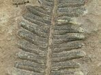 "300 Million Year Old Fern Fossil - 3.2"" - #5731-2"