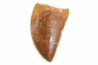 "Buy Bargain, 1.2"" Juvenile Carcharodontosaurus Tooth  - #70969"