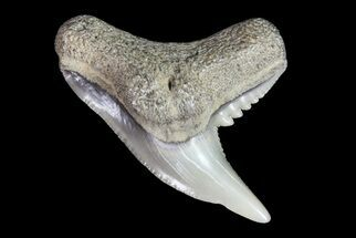 Colorful Fossil Tiger Shark (Galeocerdo) Tooth - Virginia For Sale, #71150