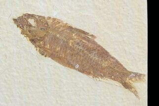 "3.1"" Knightia Fossil Fish - Wyoming For Sale, #71024"