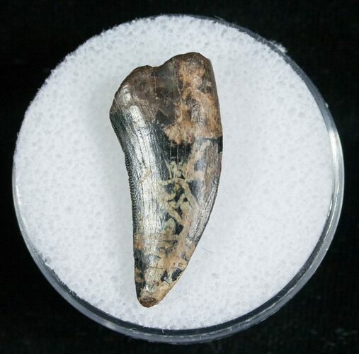 Large 1.07 Inch Raptor Tooth - Montana
