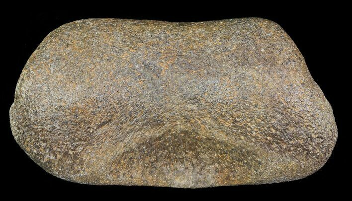 "3.2"" Hadrosaur Toe Bone - Alberta (Disposition #000028-29)"
