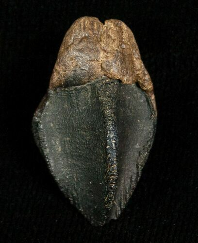 "Unerupted .92"" Triceratops Tooth Crown"