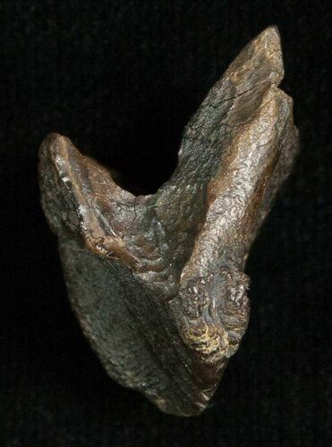 .92 Inch Triceratops Tooth - Little Wear