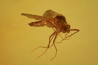 Fossil Fly (Diptera) In Baltic Amber  For Sale, #72230