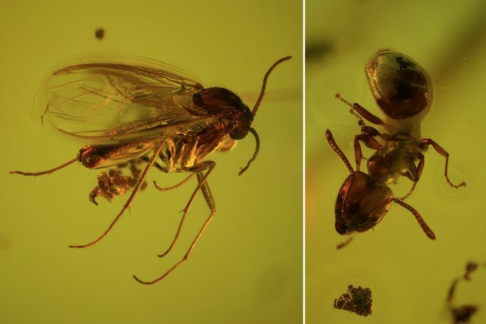 Fossil Ant (Formicidae) & Two Flies (Diptera) In Baltic Amber