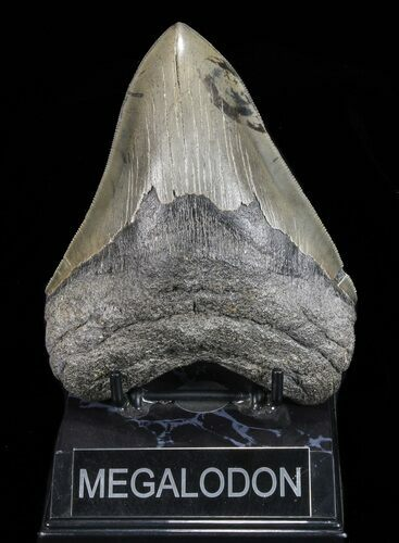 "Serrated, 5.37"" Megalodon Tooth - Georgia"