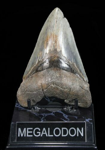"Serrated, 4.75"" Megalodon Tooth - Georgia"