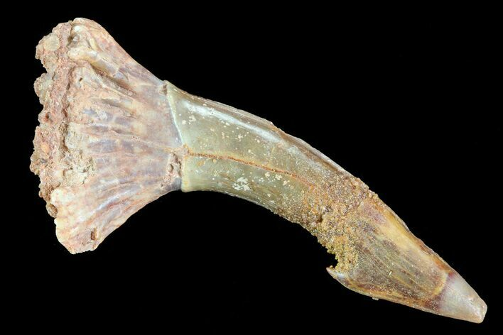 "1.89"" Cretaceous Giant Sawfish (Onchopristis) Rostral Barb"