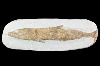 "12"" Detailed & 3D Fossil Fish - Goulmima, Morocco For Sale, #72854"