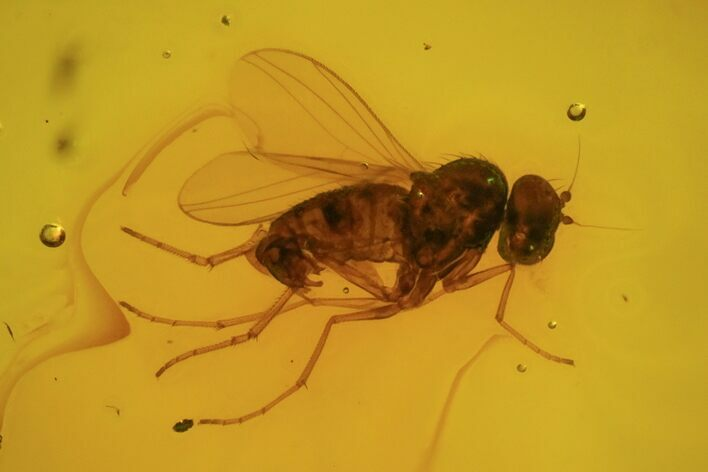 Detailed Fossil Dance Fly (Empididae) In Baltic Amber