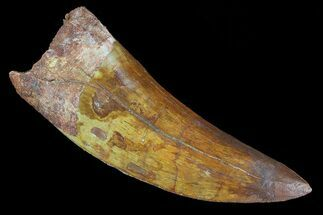 "3.45"" Carcharodontosaurus Tooth - Beastly Dino Tooth For Sale, #73385"