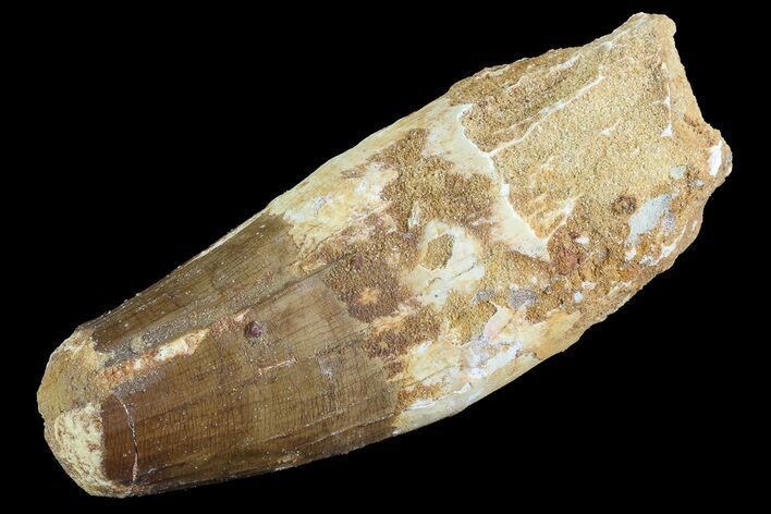 "Bargain, 3.4"" Spinosaurus Tooth - Feeding Worn Tip"
