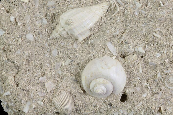 Eocene Fossil Gastropods (Athleta & Globularia) - Damery, France
