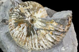 "1.9"" Hoploscaphites Ammonite - South Dakota For Sale, #73844"