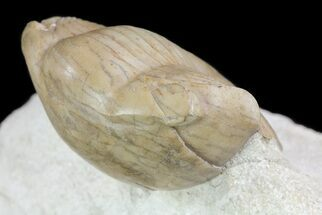"2.8"" Illaenus Sinuatus trilobite - Russia (Reduced Price) For Sale, #74039"