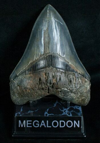 "Razor Sharp 5.66"" Megalodon Tooth"