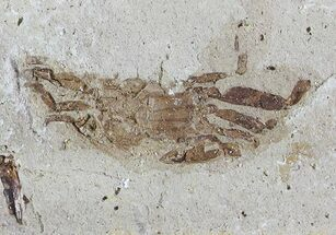 ".85"" Fossil Pea Crab (Pinnixa) From California - Miocene For Sale, #74474"