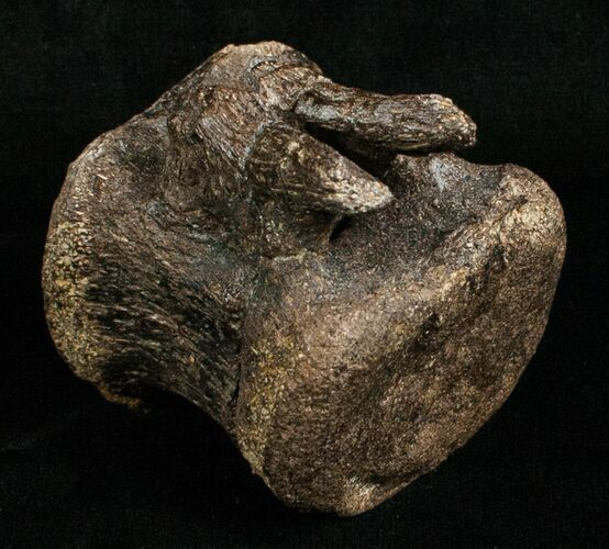 Edmontosaurus Caudal Vertebrae - South Dakota