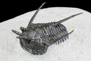 "Bargain, 1.3"" Devil Horned Cyphaspis Trilobite - Mrakib, Morocco For Sale, #74711"