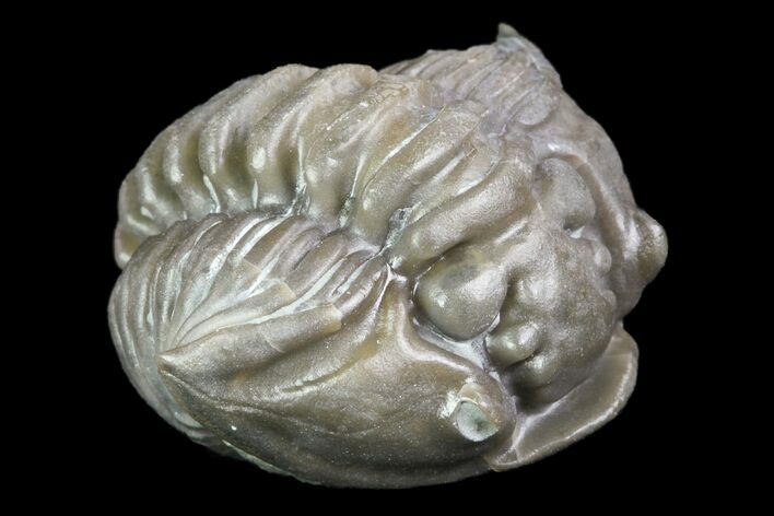 ".76"" Wide, Enrolled Flexicalymene Trilobite - Ohio"