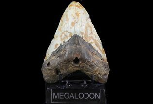 "Bargain, 5.50"" Fossil Megalodon Tooth - North Carolina For Sale, #75503"