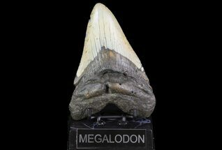 Carcharocles megalodon - Fossils For Sale - #75507