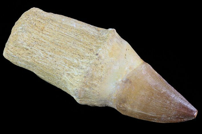 "4.1"" Rooted Mosasaur (Prognathodon) Tooth"