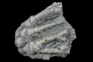 "1"" Abrotocrinus Crinoid - Crawfordsville, Indiana For Sale, #70055"