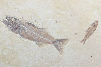 Buy Mioplosus & Knightia Fossil Fish Association - Wyoming - #75982