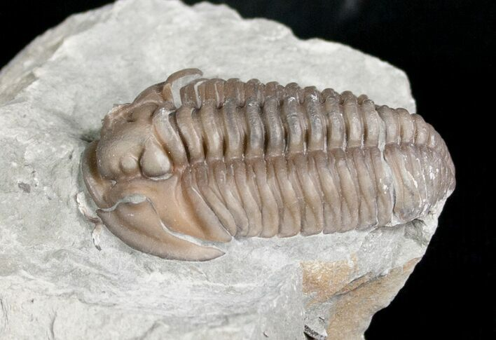 "1.26"" Flexicalymene Trilobite from Ohio - 3D"