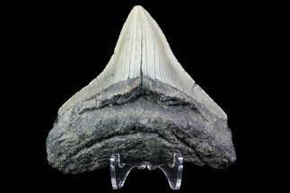 Carcharocles megalodon - Fossils For Sale - #76302