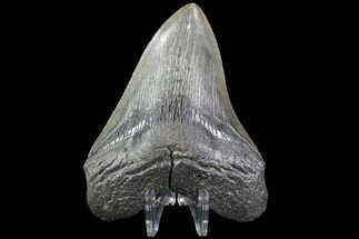 "4.18"" Fossil Megalodon Tooth - South Carolina For Sale, #74075"