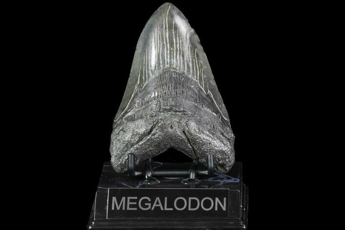 "4.68"" Fossil Megalodon Tooth - South Carolina"