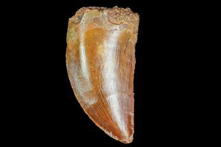 "Serrated, 1.18"" Juvenile Carcharodontosaurus Tooth For Sale, #77081"