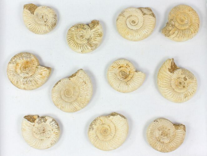 Wholesale Lot: 15 Lbs Perisphinctes Ammonite Fossils - 72 Pieces